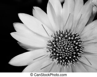 noir blanc, fleur