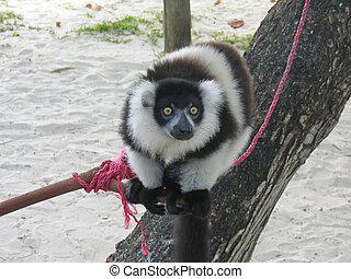 noir blanc, lemur, curieux, boraha, sainte, île, madagascar