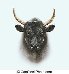 noir, camargue, taureau, faire face portrait, isolé, blanc, fond
