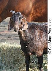noir, chèvre