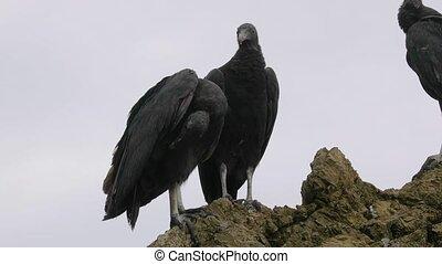noir, falaise, vautours