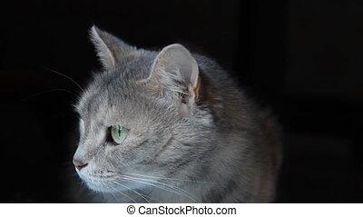 noir, gris, fond, chat
