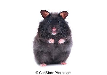 noir, hamster