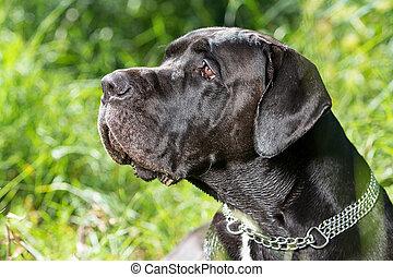 noir, mastiff, chien, portrait