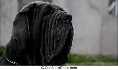 noir, neapolitan, mastiff