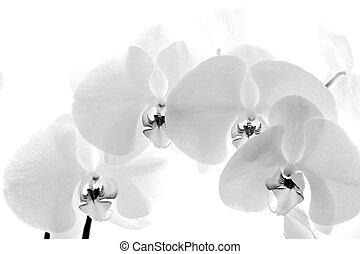 noir, orchidée, fond, isolé, blanc