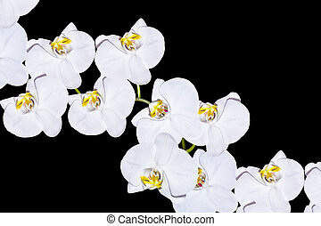 noir, orchidée, isolé, fleur, arrière-plan.