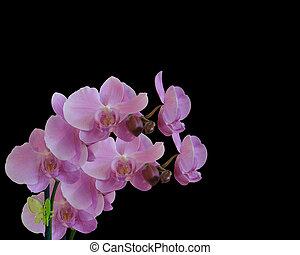 noir, orchidées, isolé, floral