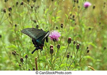 noir, papillon machaon, flower., rouges