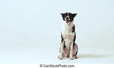 noir, regarder, chien, blanc, appareil photo