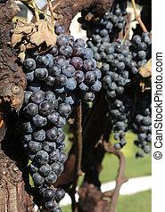 noir, vigne, raisins, mûre, tas