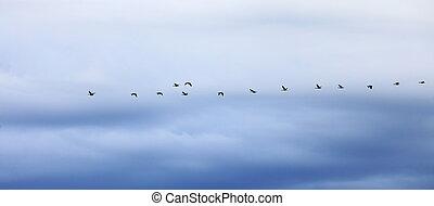 noite, gansos, voando, céu, contra, formação