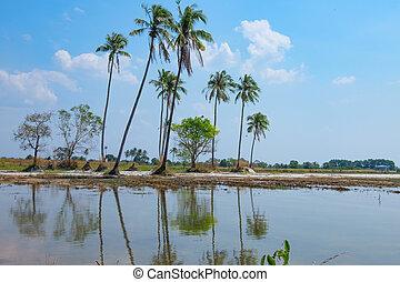 noix coco, arbres