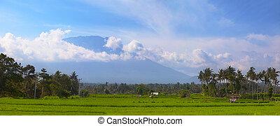 noix coco, champs, asie, sud-est, arbres, riz