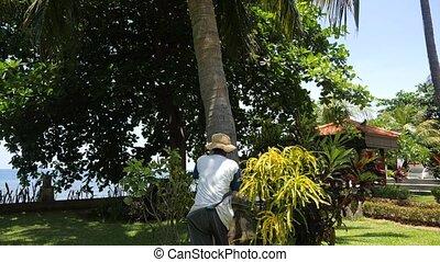 noix coco, encaisseur, arbre., paume, escalade