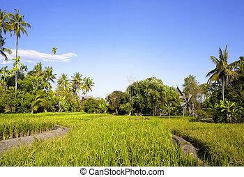 noix coco, fields., surtout