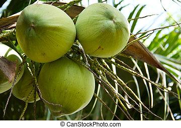 noix coco, nucifera, arbre, cocos, linn, vert, ou