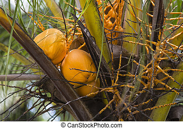 noix coco, seychelles, digue, la
