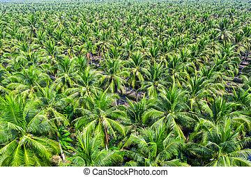 noix coco, vue aérienne, plantation., palmiers