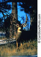 Non Typical Mule Deer Buck - a big non typical mule deer ...