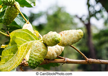 Noni fruit on the tree
