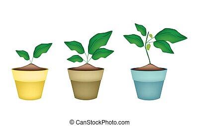 Noni or Morinda Citrifolia Tree in Ceramic Pots