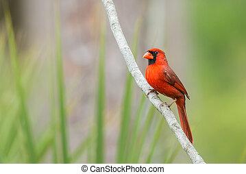 noordelijk, (cardinalis, -, cardinalis), kardinaal, mannelijke