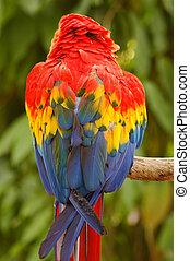 noordelijk, scharlaken macaw