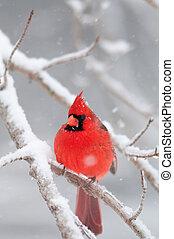 noordelijk, sneeuw, kardinaal, tak, perched, bedekt