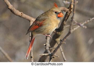 noordelijke kardinaal, cardinalis, vrouwlijk