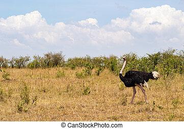 noordwestelijk, mara, park, struisvogel, kenia, savanne