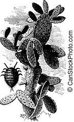 Nopal cactus charge mealybugs, vintage engraving. - Nopal...