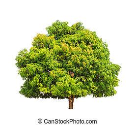 nord-est, arbre, exotique, mangue,  (mangifera,  indica)