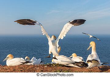 nord, helgoland, atterrissage, spreadout, gannet, falaises, ailes