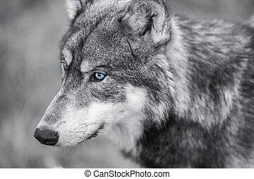 nordamerikanisch, grauer wolf, mit, blaue augen