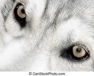 nordlig, inuit, varg, ögon