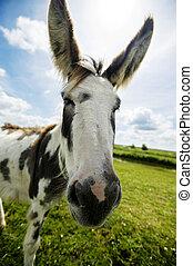 Norfolk Broads, Donkey close up