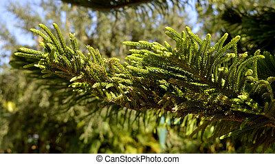 Norfolk Island Pine Latin name Araucaria heterophylla