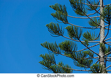 Pine leaves with blue sky.