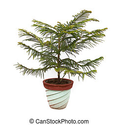 Norfolk Island Pine plant tree potted in flower pot