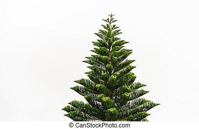 Norfolk Island pine tall straight green tree.