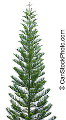 Norfolk pine tree isolated on white
