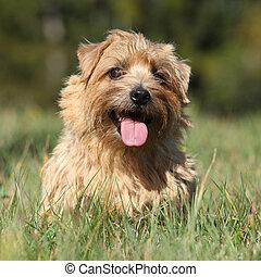 Norfolk terrier smiling at you