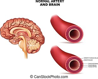 Normal artery structure and brain detailed anatomy