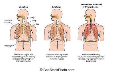 normal, e, compromised, respirar