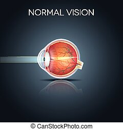Normal eye vision, detailed anatomy of the healthy eye