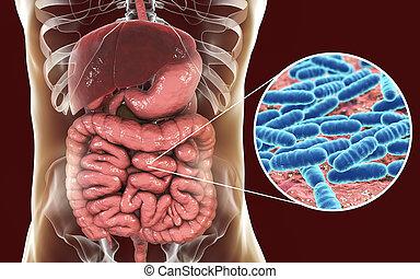 Normal flora of small intestine, bacteria Lactobacillus, 3D illustration. Lactic acid bacteria. Probiotic bacterium