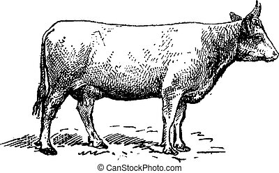 Norman cattle breed, vintage engraving.