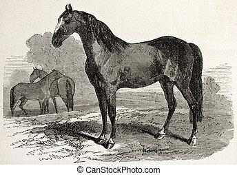 Norman horse