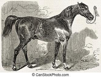 Norman horse ter